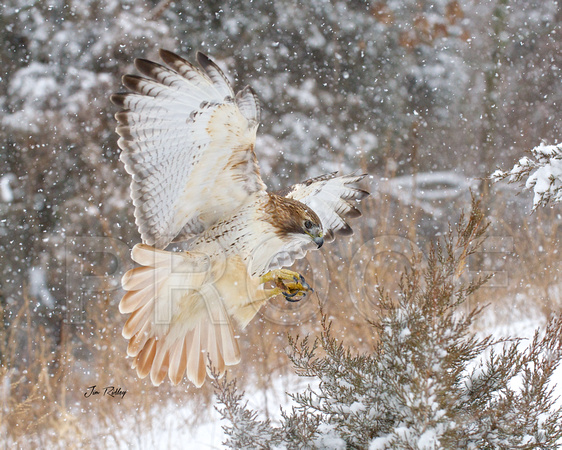Red-tailed Hawk in snow